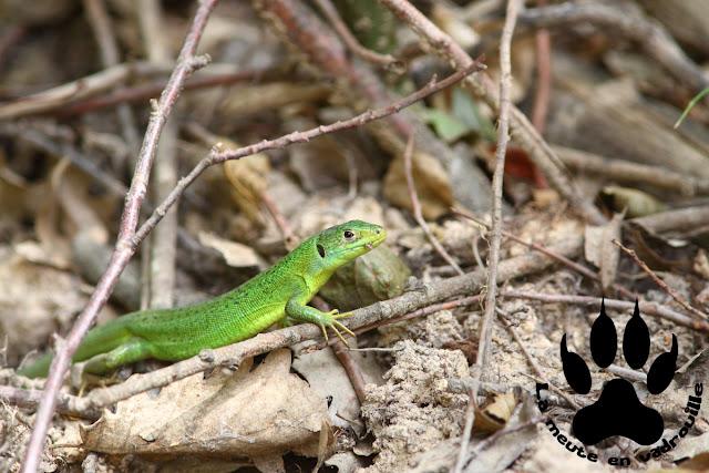 lezard-vert-colorado-provencal-rustrel