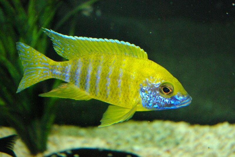 Gambar 5 Ikan cichlid Afrika - Aulonocara baenschi