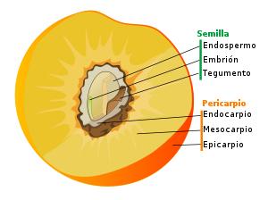 http://es.wikipedia.org/wiki/Fruto