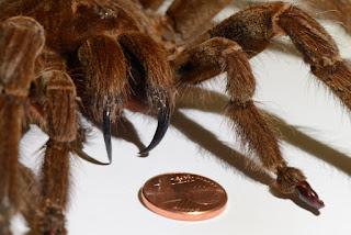 La araña más grande de la historia