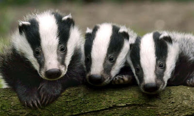 The Badger Cull
