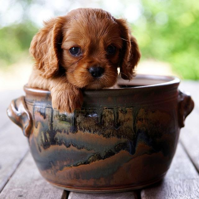 Top 5 Sweetest Teacup puppies you have ever seen