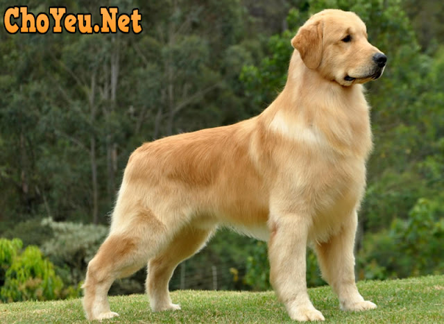 chó golden retriever