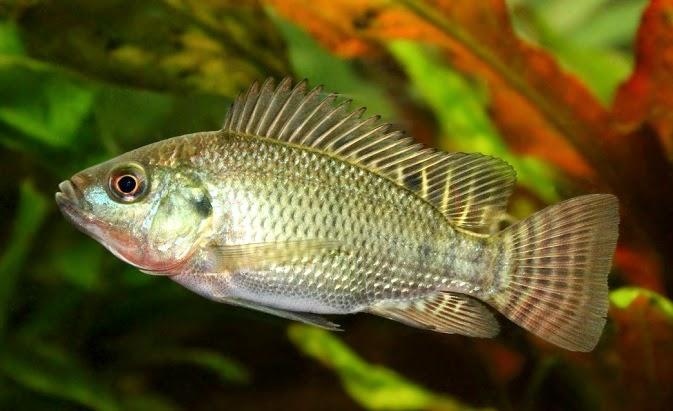 4 Jenis Umpan Ikan Nila Liar Favorit