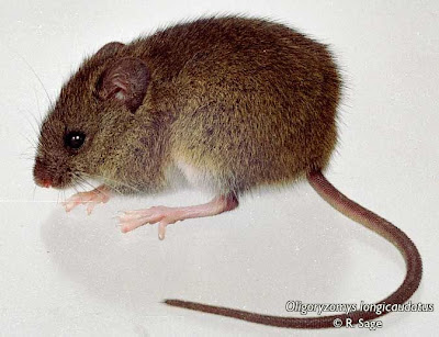 Long tailed Rice Rat