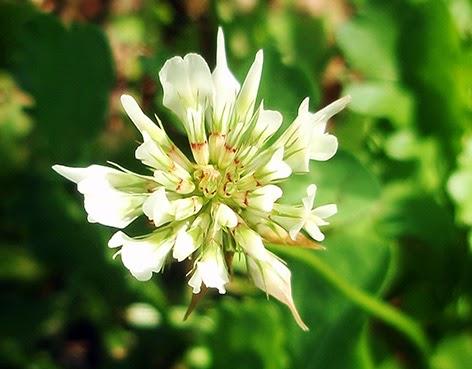 Trébol blanco (Trifolium repens)