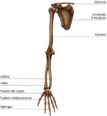 Dibujo del esqueleto del brazo (huesos)