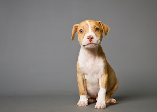 Everything about your American Pit Bull Terrier