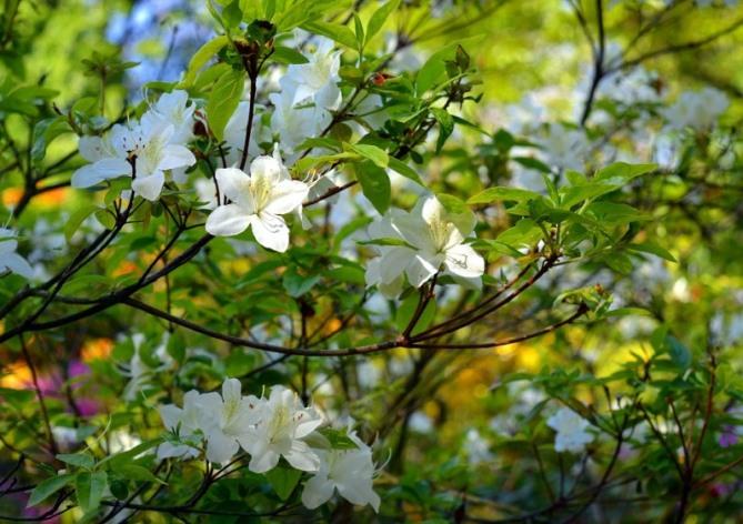 azalea plant.jpeg