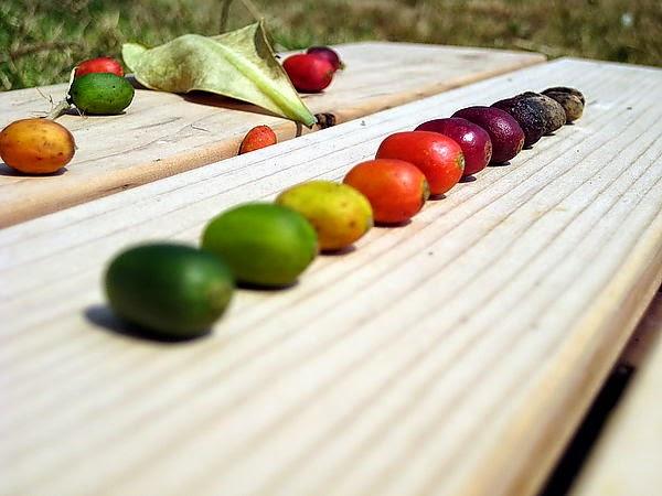 世界咖啡樹種