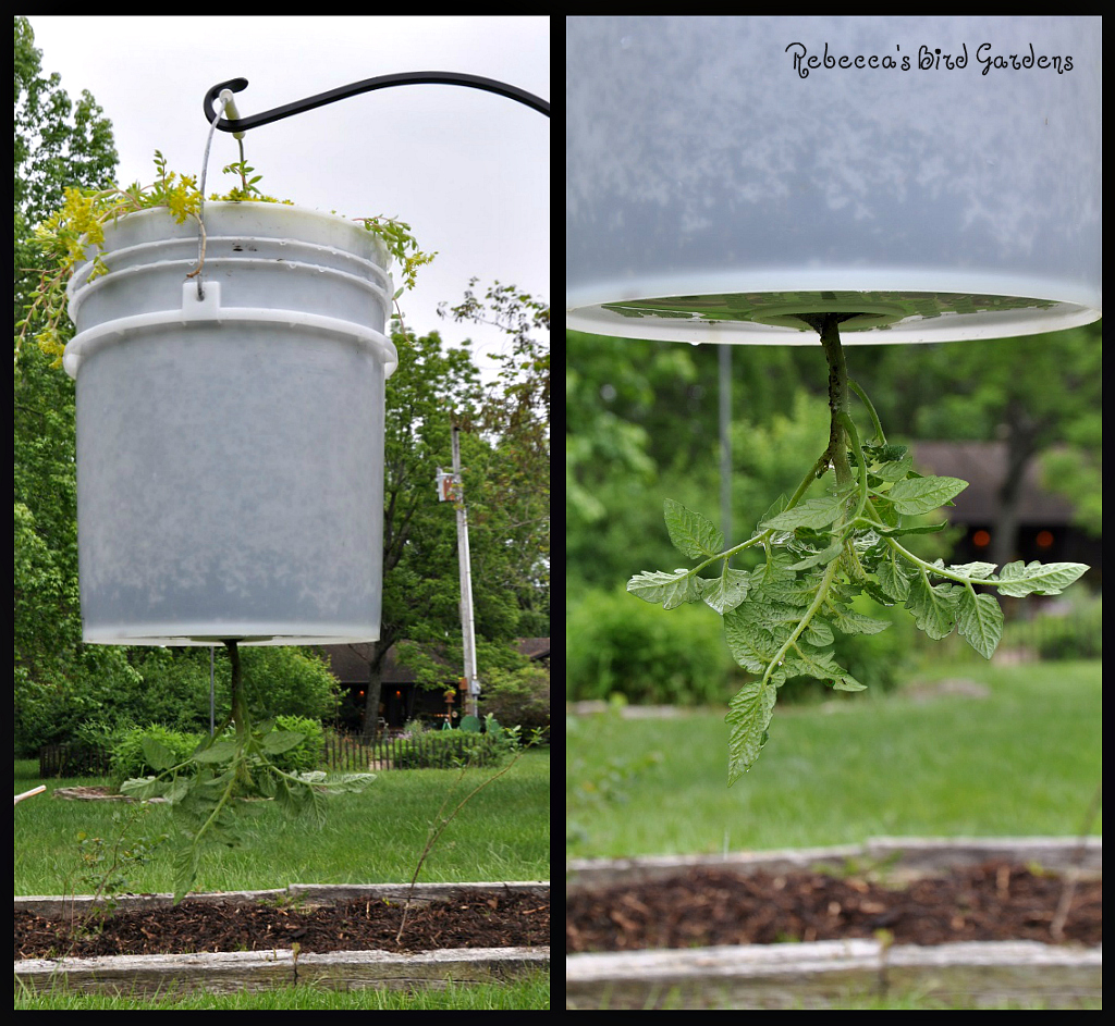 Vertical Tomato Gardening: The Garden-roof Coop: DIY Upside Down Tomato