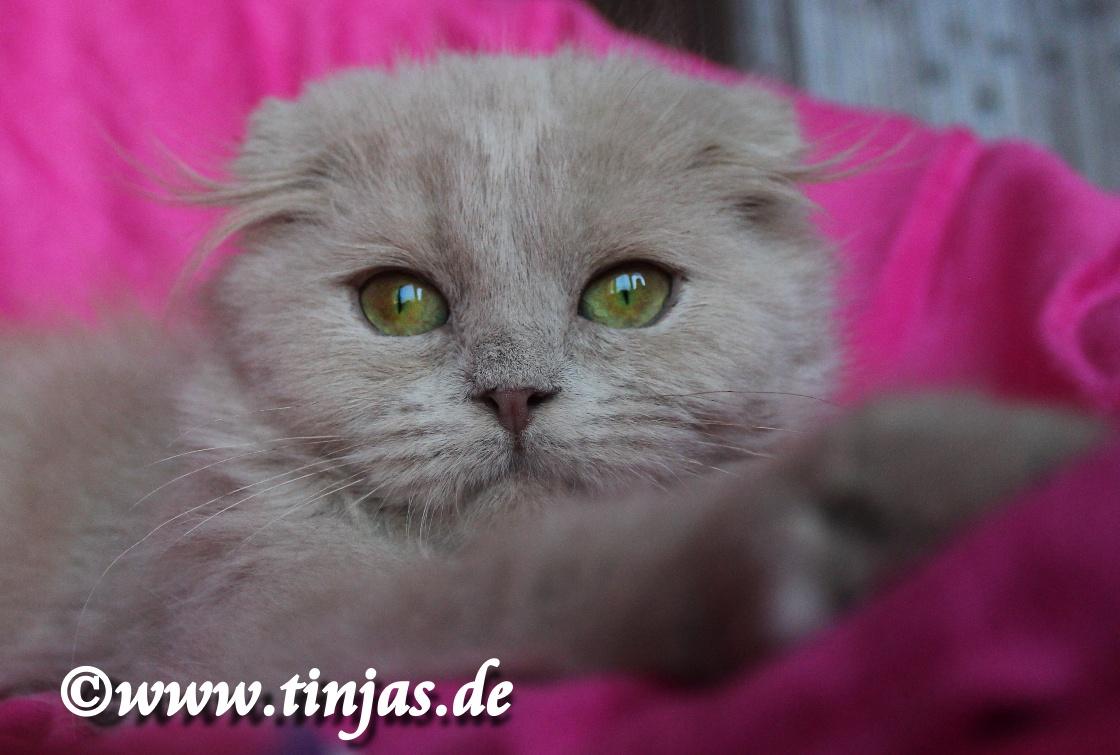 Kitten fawn Highland Fold