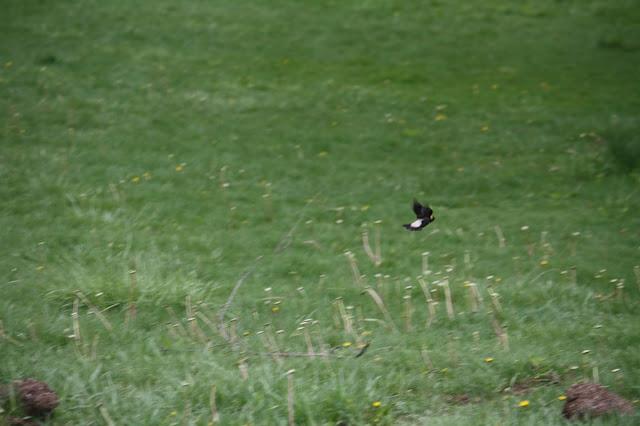 Bobolink flying