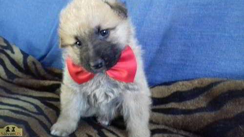 cachorro cruce pastor aleman