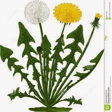 dandelion-health-aloe-vera