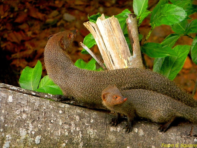 female and kid Indian Grey Mongoose
