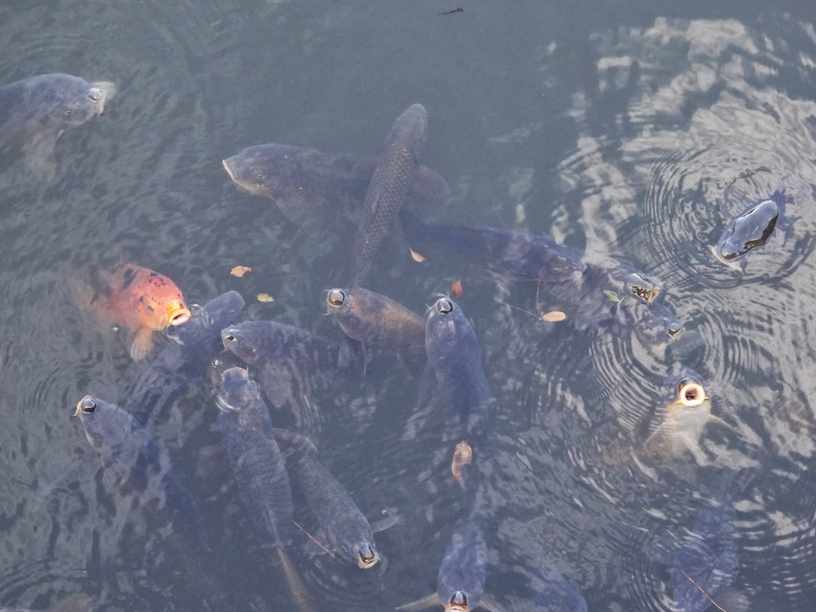 Koi fish swimming to the surface in Nijo Castle