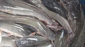 Kelebihan dan Kekurangan Budidaya Ikan Lele