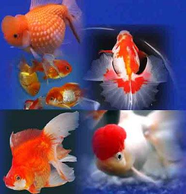 gambar ikan koki