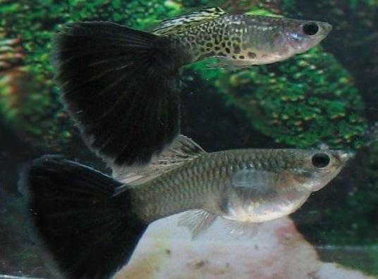 Ikan Guppy Black Cobra Tail - Cara Budidaya Ikan