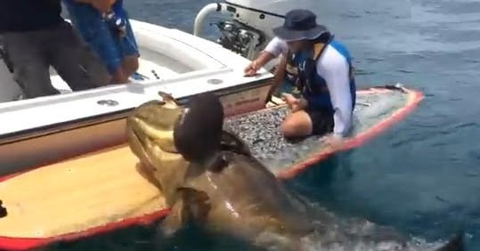 News video caught an enormous giant grouper from a paddle board