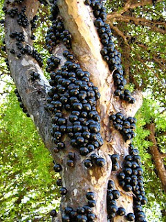 manfaat-anggur-batang-jaboticaba,www.healthnote25.com