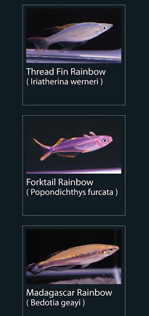 10. Thread fin rainbow  Nama Latin iriatherina werneri  11. forktail rainbow  Nama Latin popondichthys furcata 12. Madagascar rainbow  Nama Latin bedotia geayi