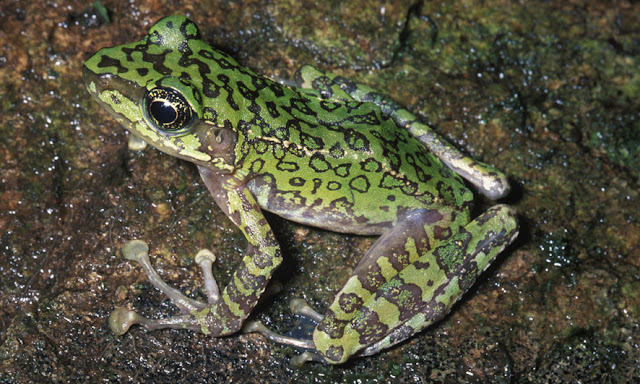 New study contradicts assumption that true frogs diversified as they expanded their range around globe