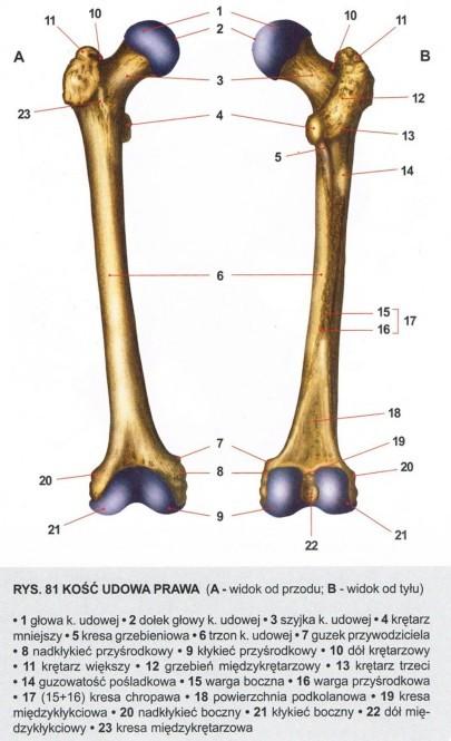 kość udowa