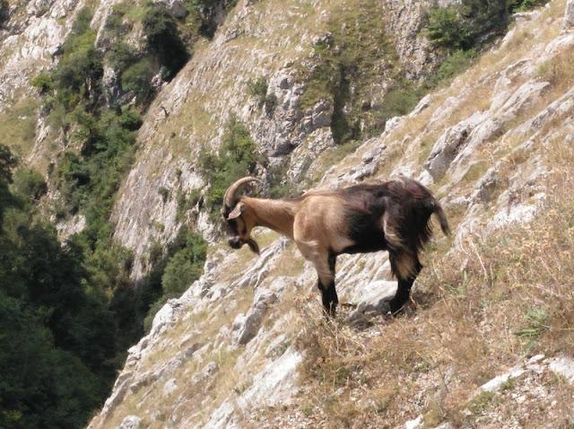 La cabra es, junto al rebeco, el animal representativo de la Senda del Cares