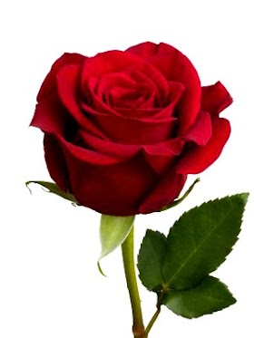 Mencari Gambar Bunga Mawar