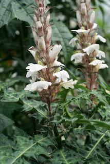 Acanthe de montagne - Acanthus montanus
