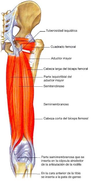 Miología Miembro Inferior - Kinesiología para Estudiantes
