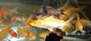 cara memelihara ikan koi di kolam,cara budidaya ikan koi di akuarium,cara budidaya ikan koi di kolam,cara budidaya ikan koi youtube,