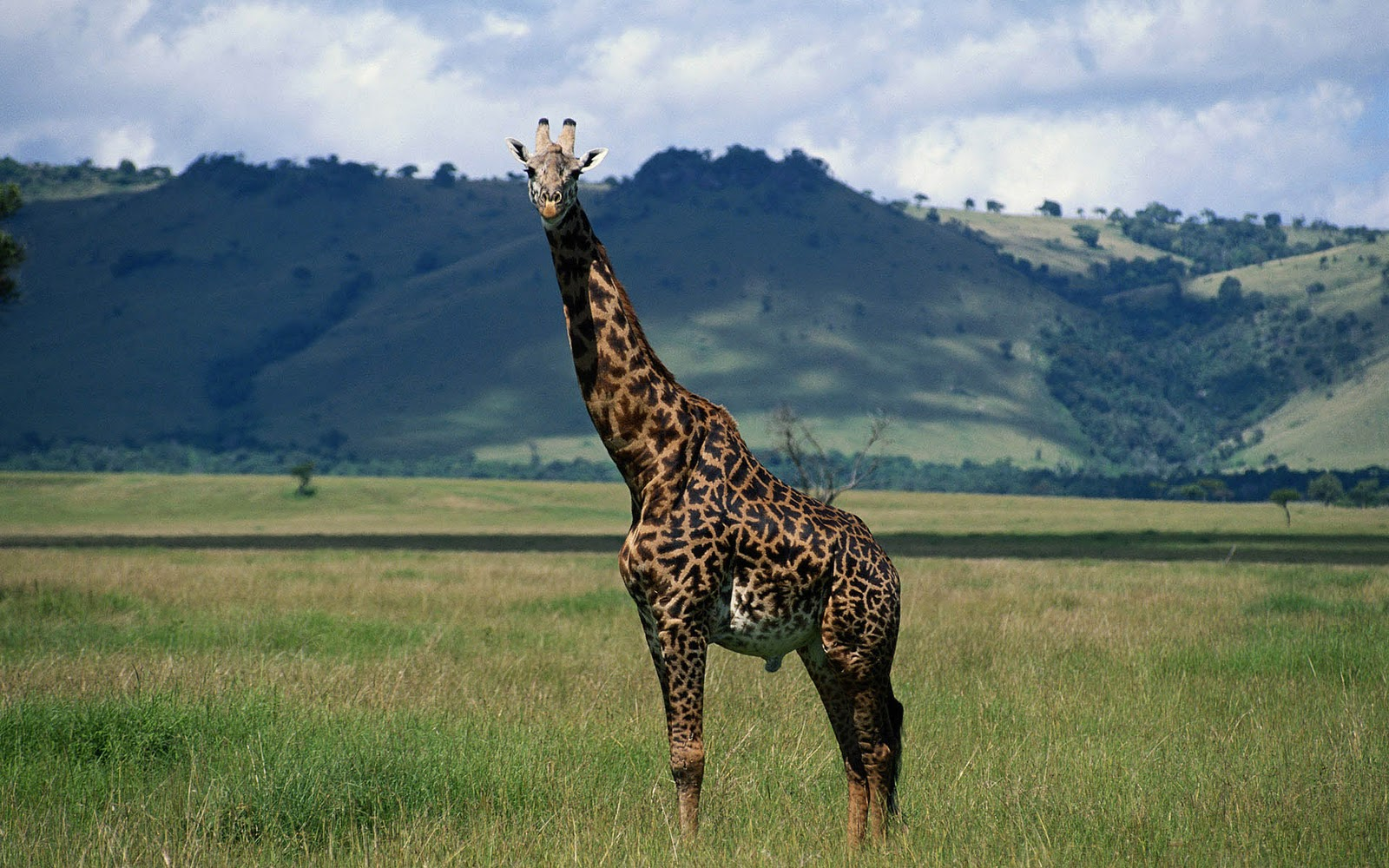 giraffe wallpapers hd pictures - photo #15
