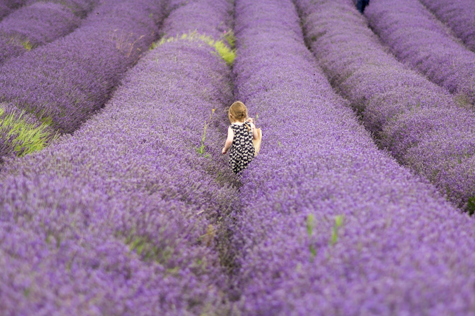 little girl in a field full of lavender - Kalms Lavender
