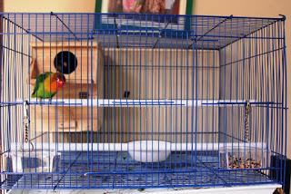 Tips Budidaya Burung Lovebird