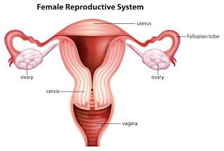 Reproduksi wanita - tuba falopi