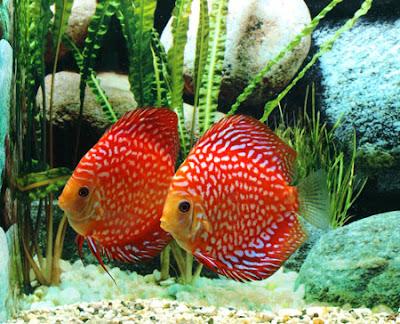 El blog de los pe otes for Criadero de peces de colores