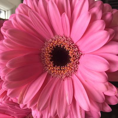 Pink Gebera, Flower, Pink, Pink Flower,