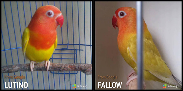 Jika ditanya Lovebird apakah yang kini sedang paling banyak dicari para Lovebird Lover  Perbedaan Lovebird Pale Fallow Dan Lutino Mata Merah
