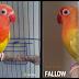 Ternak Lovebird  Perbedaan Lovebird Pale Fallow dan Lutino Mata Merah  Lovebird
