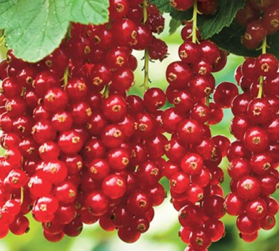 currant shrub