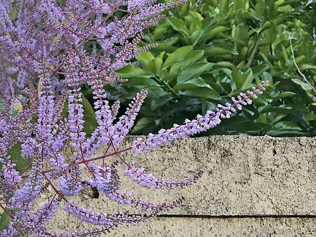 Purple flowers, Tetradenia Riparia, Ginger Bush