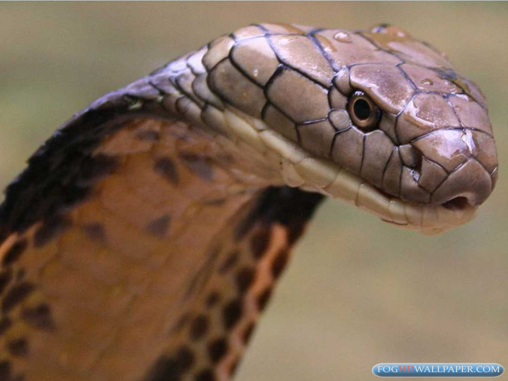 King Cobra Snake Photos Fog Hd Wallpaper HD Wallpapers Download Free Images Wallpaper [1000image.com]