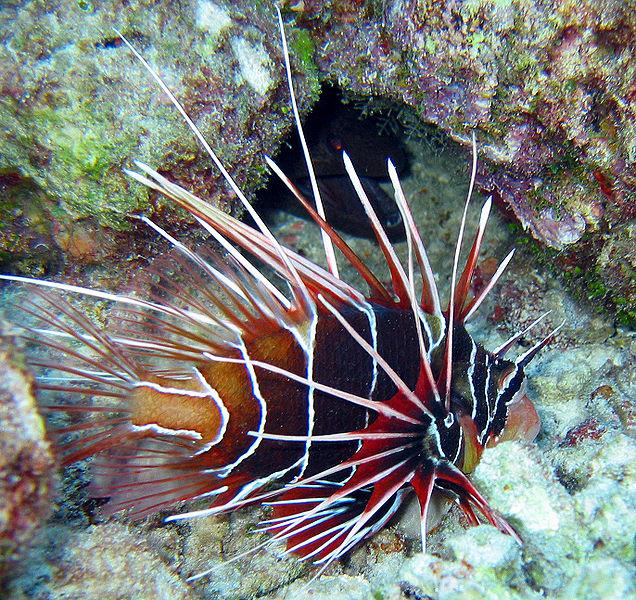 سمكة اسد البحر عندما يجتمع الجمال والخطر 636px-Clearfin_Lifis