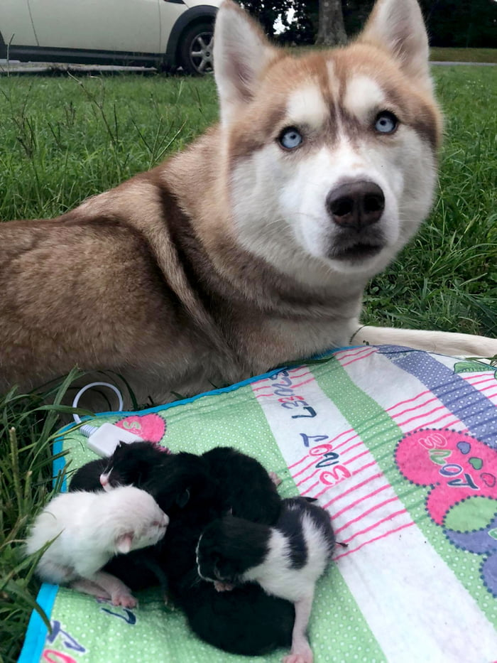 Hero Husky Finds A Box Full Of Near-Dying Kittens In The Woods, Becomes Their New Mom