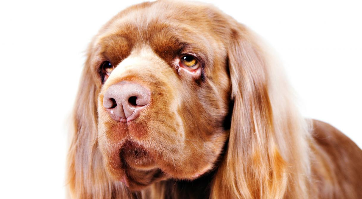 How to Identify a Sussex Spaniel picture