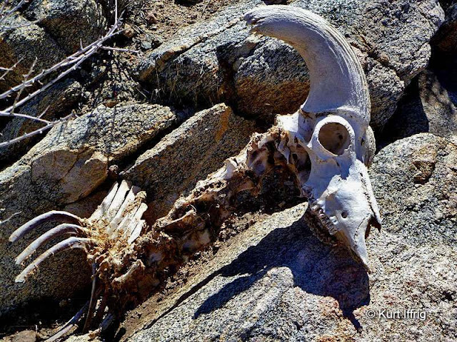 The first of two Bighorn skeletons I've found in this area. The second skull is mounted on my wall.