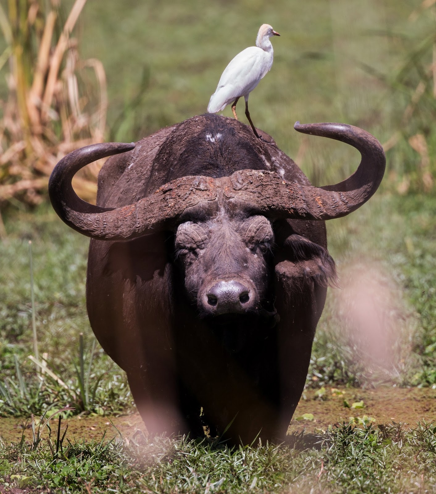 Picture of a buffalo.